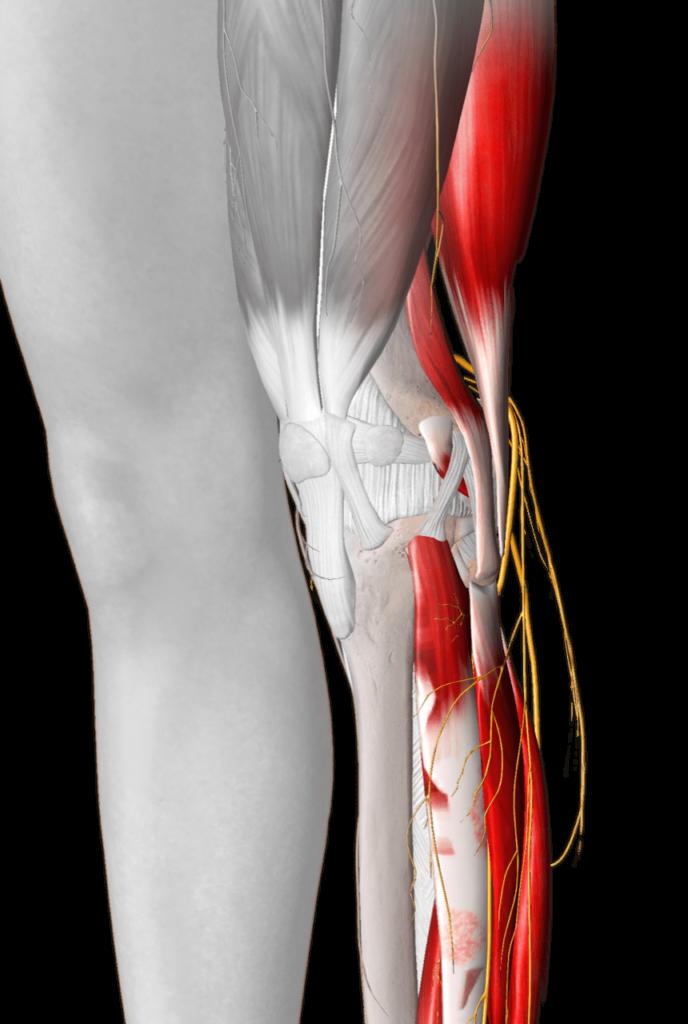 Die Muskulatur im Bein