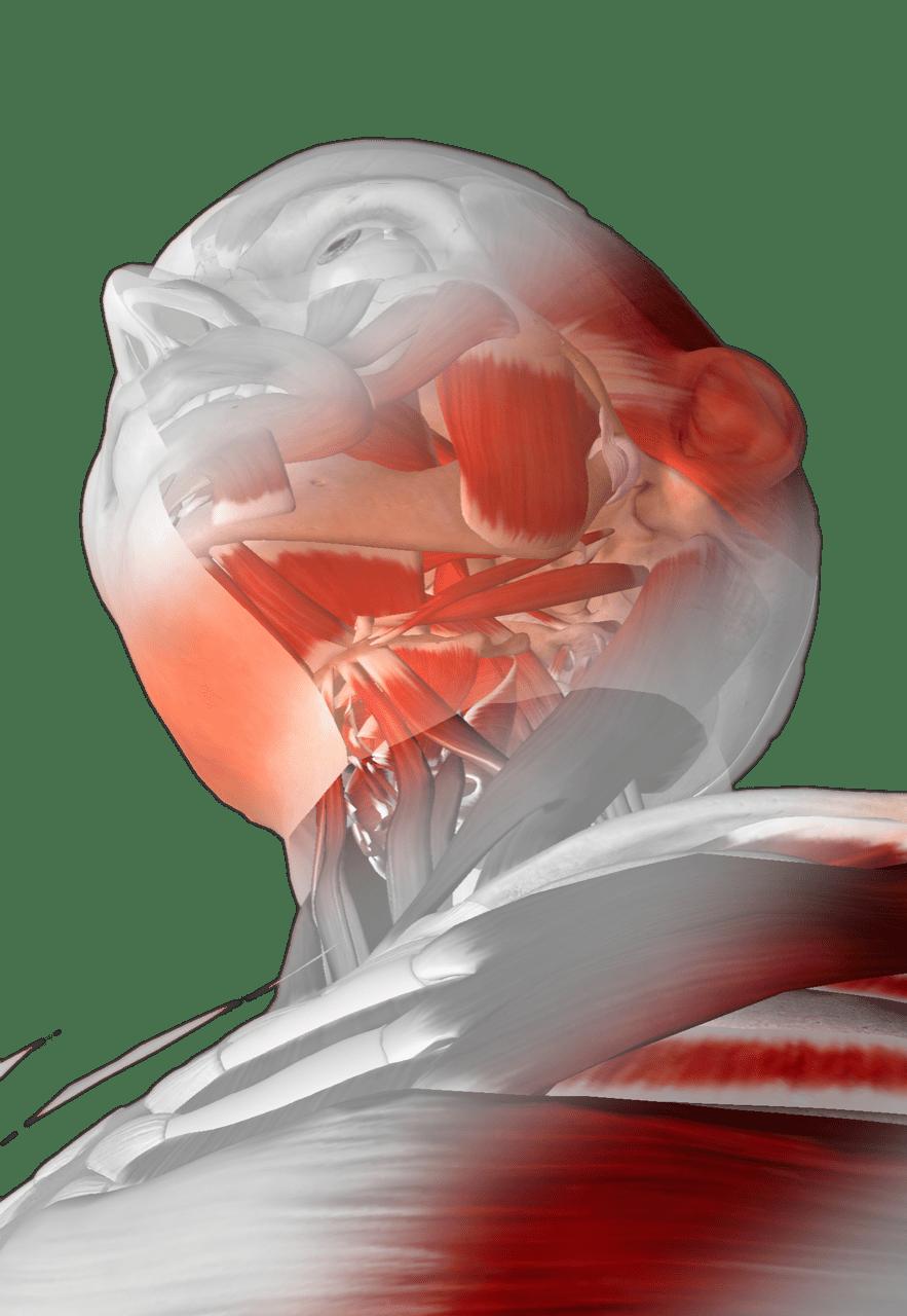 Muskulatur im Kiefer
